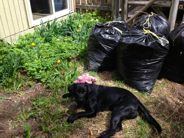 Parley helping in the yard....we filled five garbage bags with dead leaves and weeds!