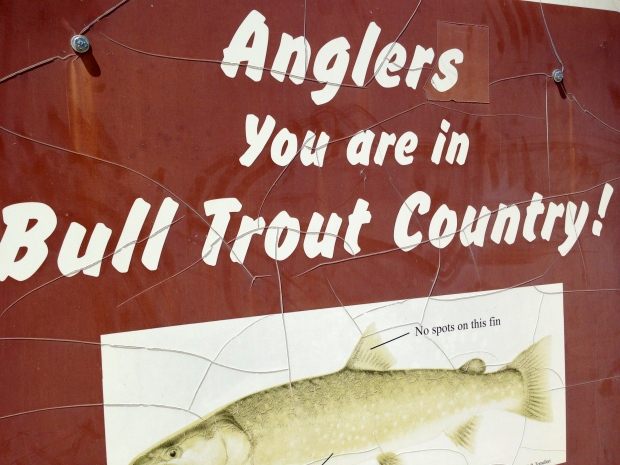 while the red fish (salmon) are not really present any more, you can catch a good sized bull trout, especially at the mouth of streams