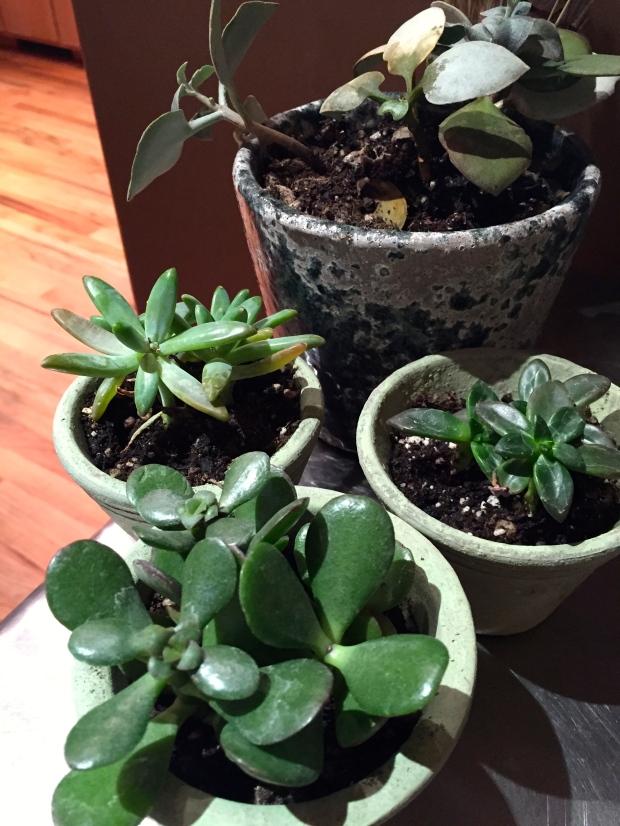 four new succulents
