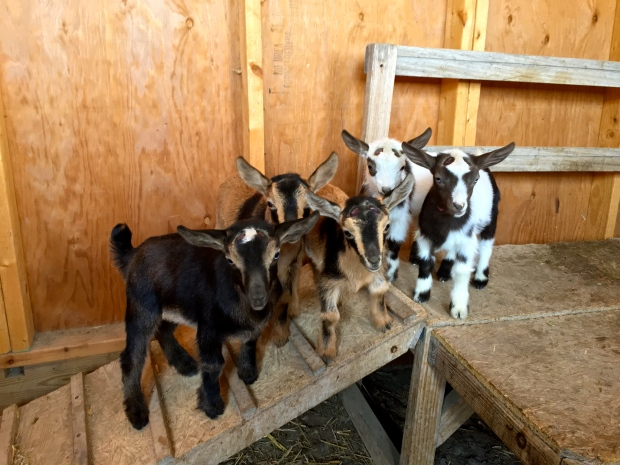 """the goat """"trip"""" our goats came from"""