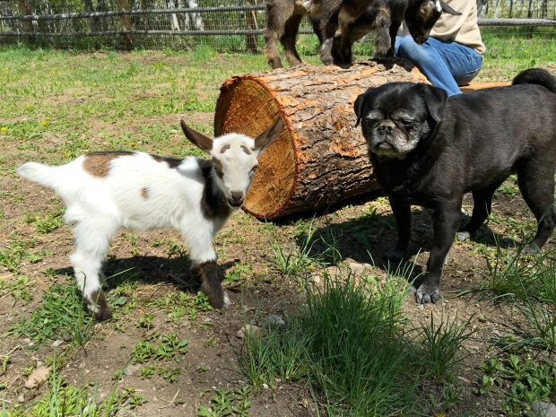 goat versus pug