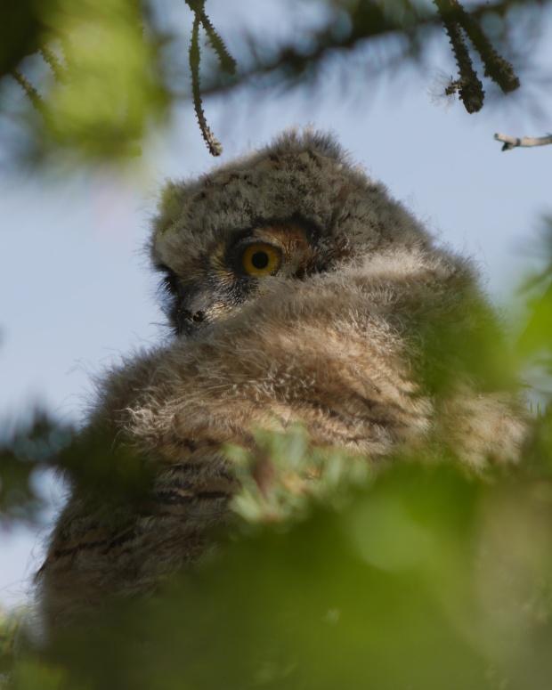 baby owl getting bigger