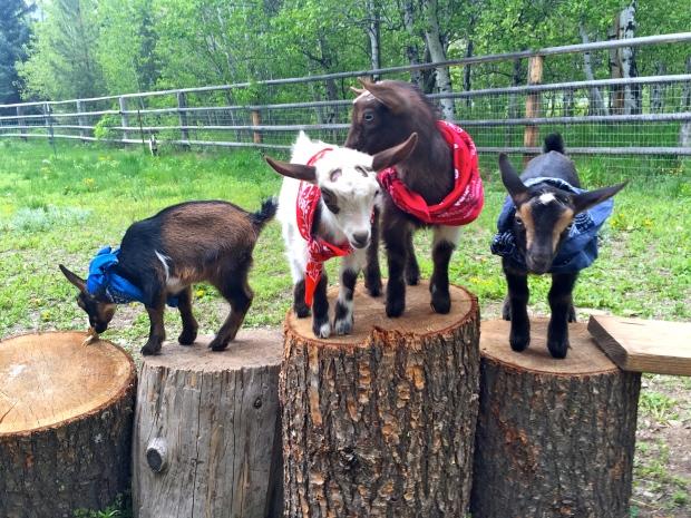 goats in bandanas!