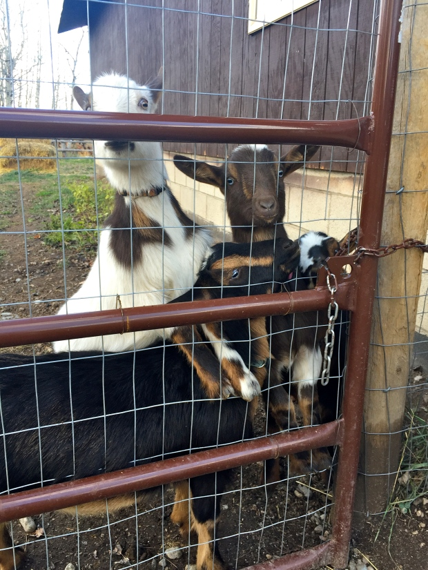 i missed you too goats