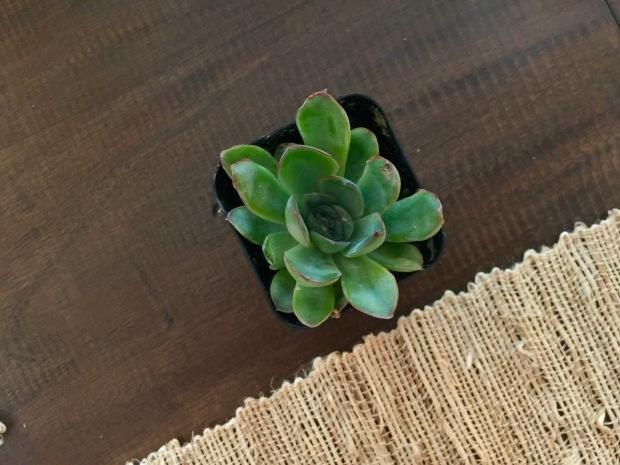 the cutest little succulents