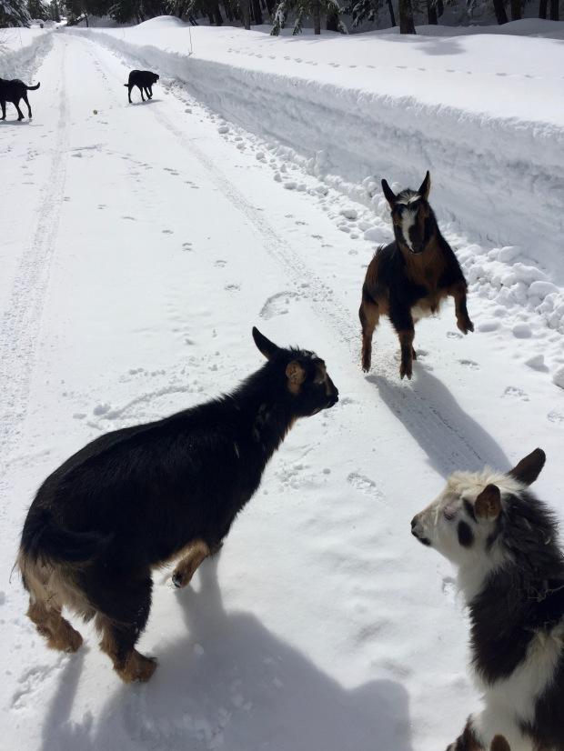 goat walks