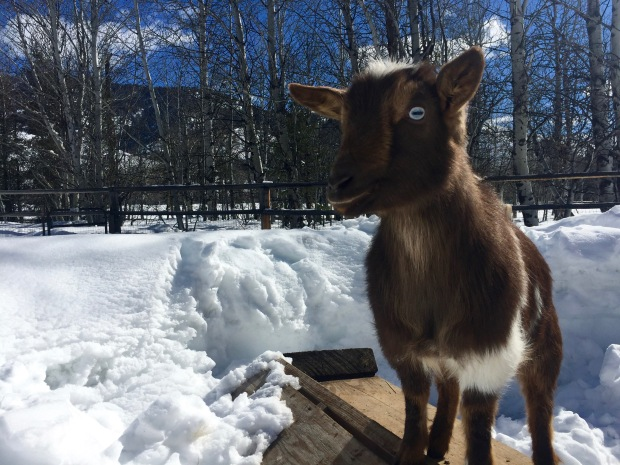 when your goats live in a winter wonderland