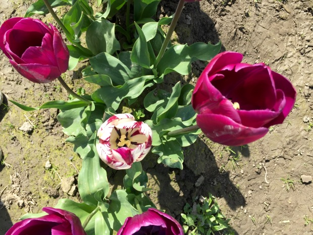 love the rogue tulip